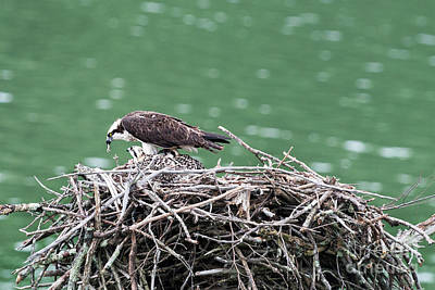 Photograph - Feeding The Young Osprey  by Dan Friend