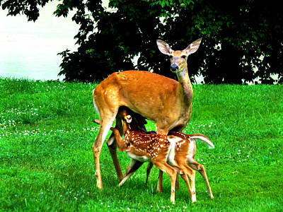 Nursing Deer Photograph - Feeding Time by Craig Bohnert
