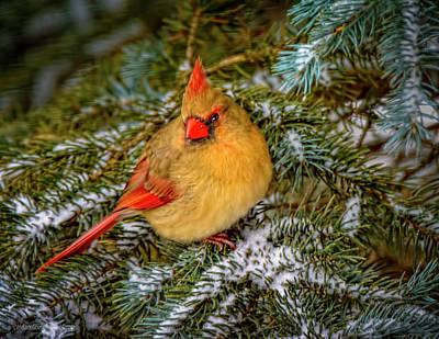 Photograph - Female Cardinal by LeeAnn McLaneGoetz McLaneGoetzStudioLLCcom