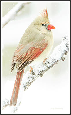 Photograph - Female Cardinal On Snow Covered Tree Branch by A Gurmankin