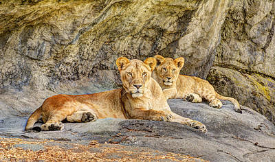 Female Lion And Cub Hdr Art Print