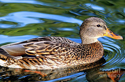 Photograph - Female Mallard Duck by Terry Elniski