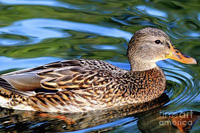 Photograph - Female Mallard Duck by Terry Elniski
