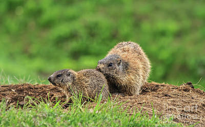 Photograph - Female Marmot With Young by Antonio Scarpi