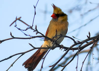 Target Threshold Nature - Female Northern Cardinal by Ricky L Jones