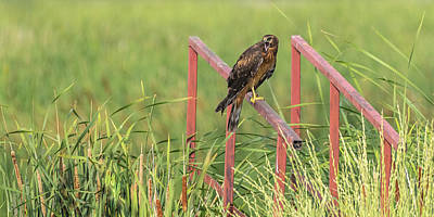 Photograph - Female Northern Harrier by Yeates Photography