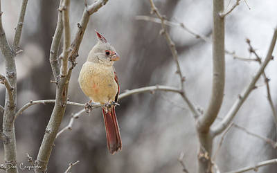 Photograph - Female Pyrrhuloxia by Dee Carpenter