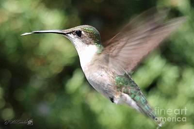 Archilochus Colubris Digital Art - Female Ruby-throated Hummingbird In Flight by J McCombie