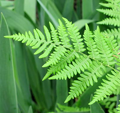 Photograph - Fern by Douglas Pike