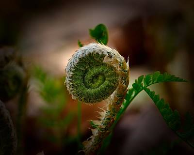 Photograph - Fern Fiddlehead by Walt Sterneman
