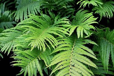 Photograph - Ferns II by Michiale Schneider