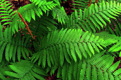 Photograph - Ferns  by Rick Berk