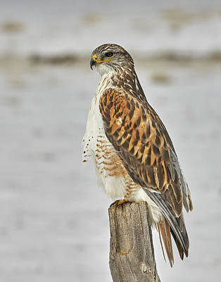 Photograph - Ferruginous Hawk by Doug Herr