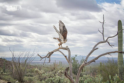 Photograph - Ferruginous Hawk by Tam Ryan