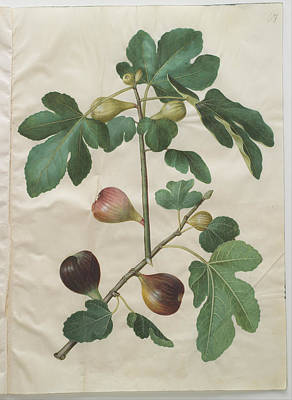 Plants Painting - Ficus Carica by Johannes Simon Holtzbecher