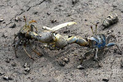 Fiddler Crab Fight Art Print