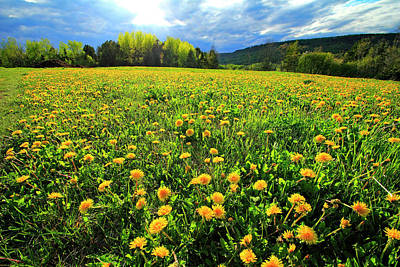 Photograph - Field Of Dandelions by Gary Corbett