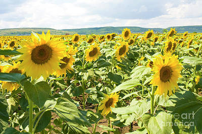 Photograph - Field With Sunflowers by Irina Afonskaya