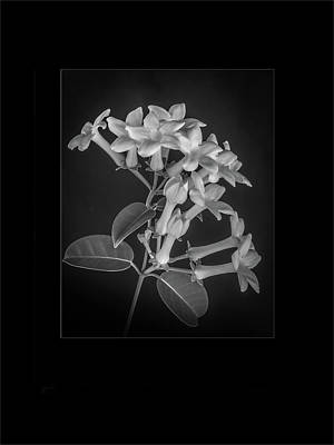 Floribunda Digital Art - Fine Art Framed Study Of Estephanotis- by Peter Hayward Photographer