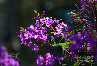 Photograph - Fireweed Flowers by Les Palenik