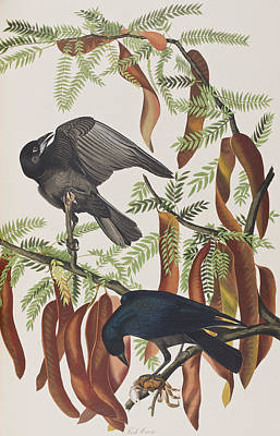 Crow Drawing - Fish Crow by John James Audubon