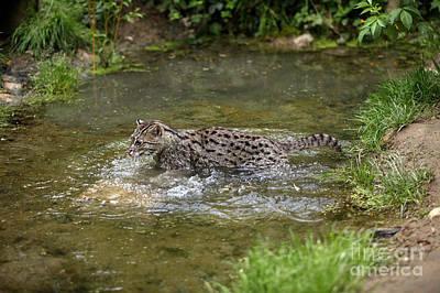 Fishing Cat Prionailurus Viverrinus Art Print