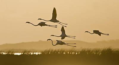 Flamingo Flight Art Print by Basie Van Zyl