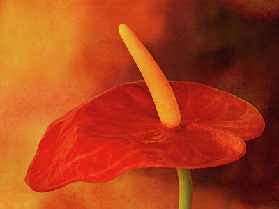 Photograph - Flamingo Flower by Lutz Baar