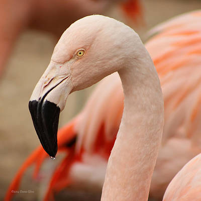 Photograph - Flamingo Right by Deana Glenz
