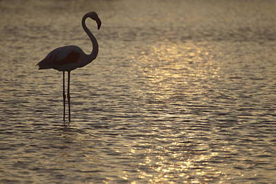 Flamingo Standing In Lake In France By The Light Of The Setting Sun Art Print by Ronald Jansen