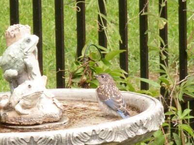 Photograph - Fledgling Bluebird At Birdbath by Jeanne Kay Juhos
