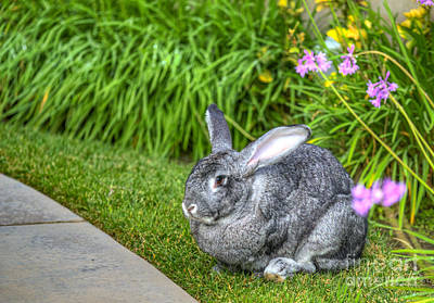 Photograph - Flemish Giant Rabbit by David Zanzinger