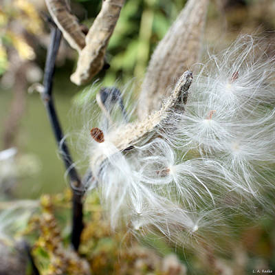 Photograph - Flight Of The Milkweed by Lauren Radke