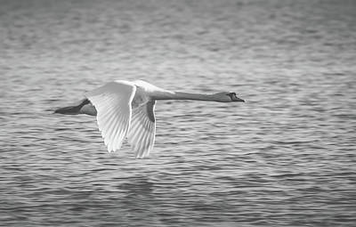 Photograph - Flight Of The Swan by Pixabay