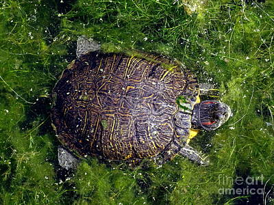 Photograph - Floating Turtle by Ed Weidman