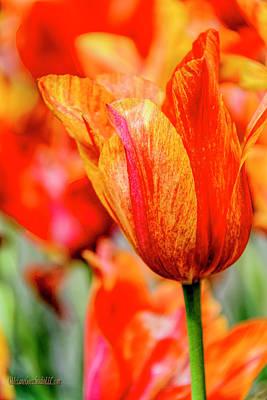 Photograph - Florette Tulip by LeeAnn McLaneGoetz McLaneGoetzStudioLLCcom