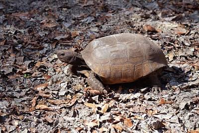 Photograph - Florida Gopher Tortoise 2 by rd Erickson