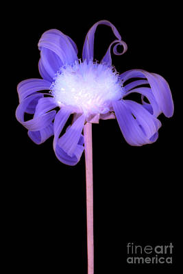 Photograph - Flower by Clayton Bastiani