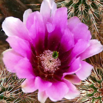 Photograph - Flowering Cactus by Laurel Powell