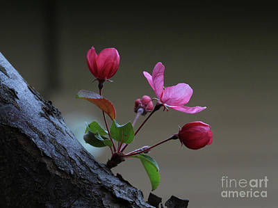 Tree Photograph - Flowering Crabapple by Gary Wing