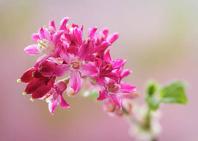 Photograph - Flowering Currant by Shirley Mitchell
