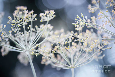 Photograph - Flowering Dill by Elena Elisseeva