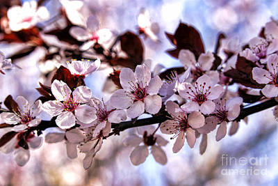 Flowering Plum Art Print