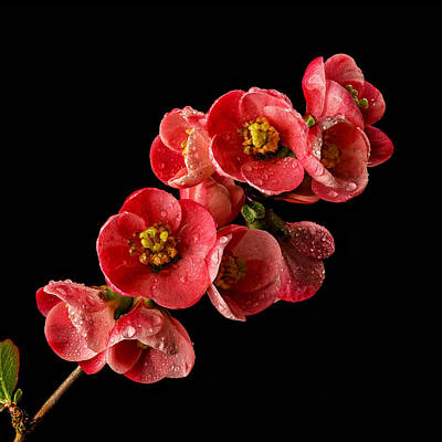 Photograph - Flowering Quince by Mary Jo Allen