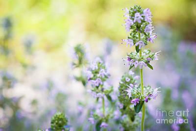 Photograph - Flowering Thyme by Elena Elisseeva