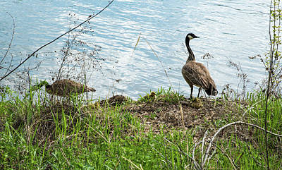 Photograph - Fluffy Goslings And Alert Parents by Tom Cochran