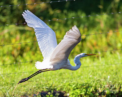 Photograph - Flying Egret by Eric Killian