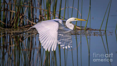 Photograph - Flying Egret by Tom Claud