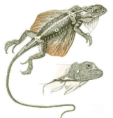 Flying Lizard Art Print by Science Source
