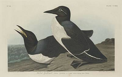 Seagull Drawing - Foolish Guillemot by Dreyer Wildlife Print Collections